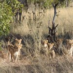 Lion Cubs 8 of them
