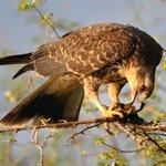 snale eagle