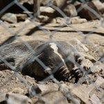 Peek-aboo Badger