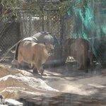 Fat Mountain Lions