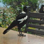Magpies want your lunch