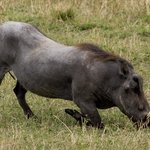 One of the Ugly 5 - warthog