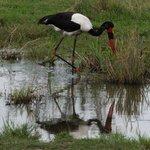 Pretty saddle-billed stork in the Mara