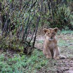 Little lion cub - I dropped a camera bean bag for it to play with