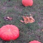 Rotting pumpkins everywhere