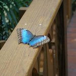 Blue Morpho wings open