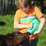 Feeding Junior, the calf
