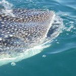 Whale-shark just passing by the boat!!!