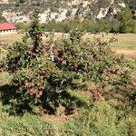 Loaded apple tree