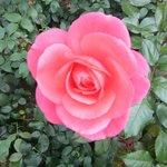 Rose Garden at the New Residenz・・・可愛いピンク