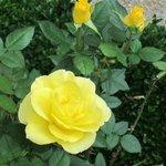 Rose Garden at the New Residenz・・・淡いイエローが美しい