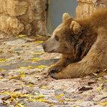 A bear in Haifa Zoo