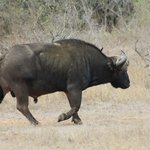 Cape Buffalo - hluhluwe