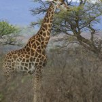 Giraffe at hluhluwe