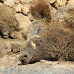 Sleepy piggy :)