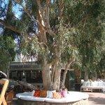 Een van de vele Okalyptus bomen