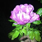 the best smelling rose ever on the grounds