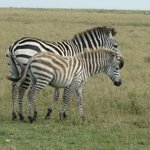 Our first and certainly not last Zebra sighting