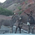 burros on road into black meadow landing az