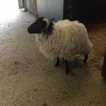 Sheep to pet