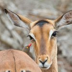 Impala with red-billed oxpecker at Hluhluwe-Imfolozi Reserve