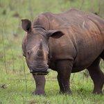 White Rhino from nearby Hluhluwe-Imfolozi Reserve