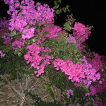 pretty pink bush thing