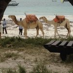 daily camels on beach