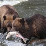 Grizzly Bears Fishing