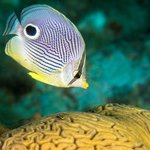 Four eyed butterfly fish and peppermint goby