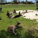 Hand feed the kangaroos at Maru Koala Park