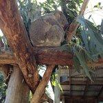 Koala at Maru Koala Park