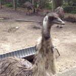 Emu at Maru Koala Park