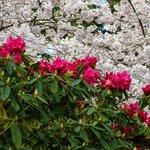 Rhoadies and cherry blossums