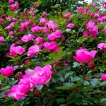 Early Summer Roses