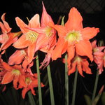 Bulbs in bloom