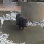 vietnames pig I think