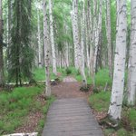 birch trees and path