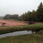 Cranberry bog with tractor with vibrating jig to loosen berries