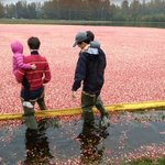 Wading into the sea of cranberries
