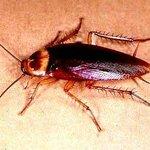 Cockroach in Casas del Mar