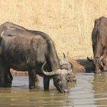 Kaffernbüffel an der Wasserstelle