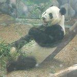 panda bear exhibit