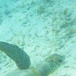 Schildpad op Klein Curacao