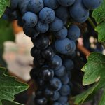 Wine Grapes almost ready to harvest