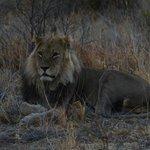 Tau Pan Camp Lion