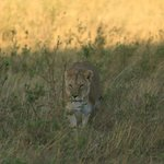 a lioness just outside main gate