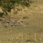 a leopard 100m from the lodge.