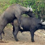 Water buffalo mating in Queen Elizabeth National Park Uganda