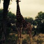 A Giraffe enjoying her afternoon meal